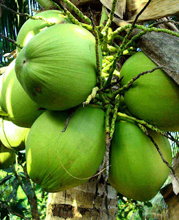 health_benefits_of_eating_coconut_fruits-vegetables-benefits.blogspot.com(13)