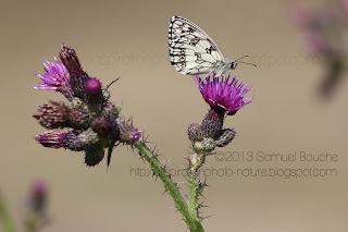 photo macro papillon noir et blanc sur une fleur sauvage