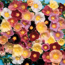 Hollyhock Happy Lights Mix