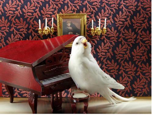 passaro tocando piano