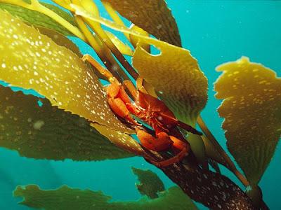 Kelp-sea-vegetable