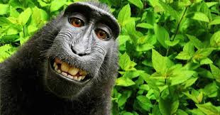 Naruto, an Indonesian monkey, has lost the chance to become the first non-human to own copyright for a selfie.    Peta, which is locked in a legal dispute with photographer David J Slater over the copyright, had filed a suit in San Francisco court on behalf of the monkey.