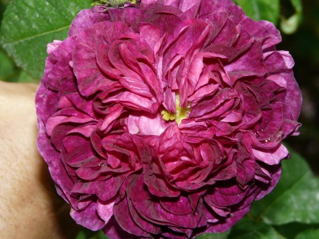 promesse de roses mogador la rose du roi fleur pourpre