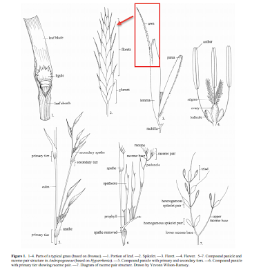 Grass Parts from Glossary of botanical terms used in the Poaceae.