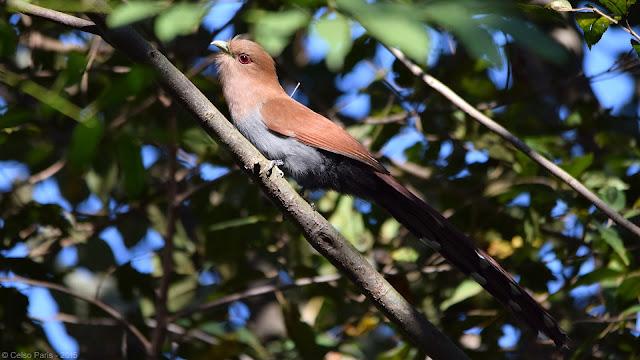 Squirrel Cuckoo Piaya cayana macroura Alma-de-gato Tingazú