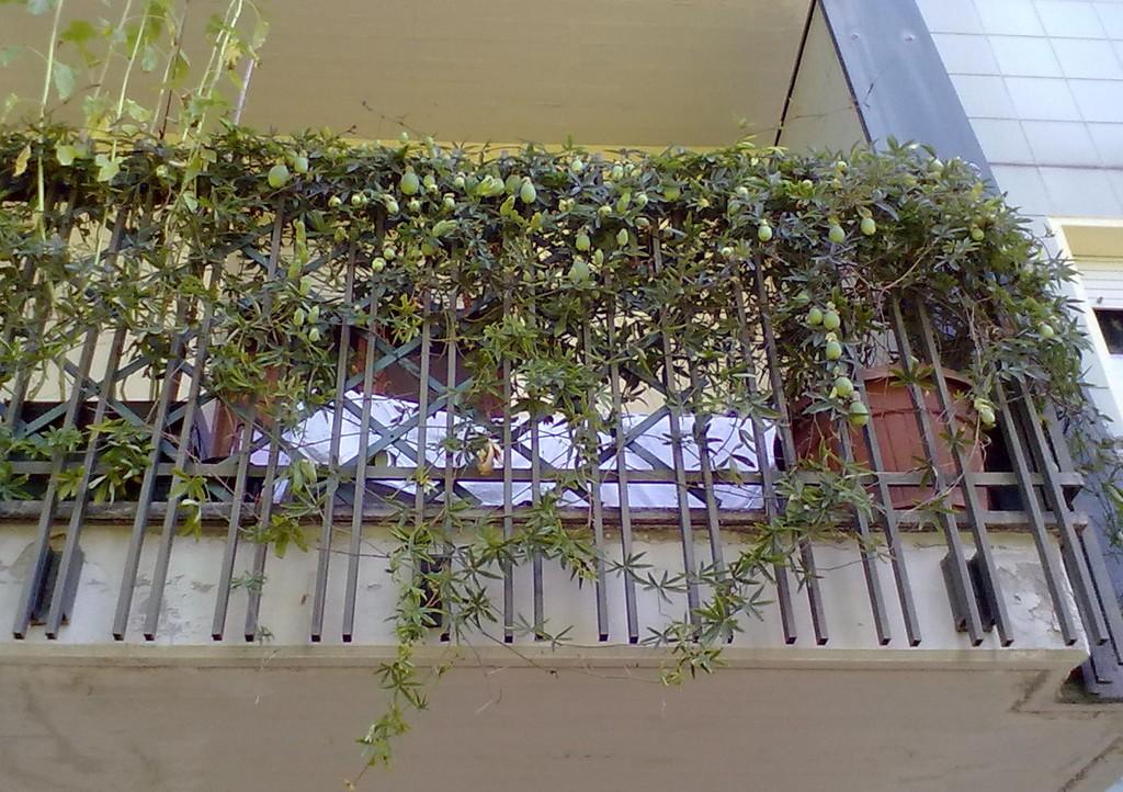 Mamma claudia e le avventure del topastro orto e pianticelle for Piante rampicanti da balcone
