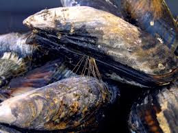 Mussel grouping