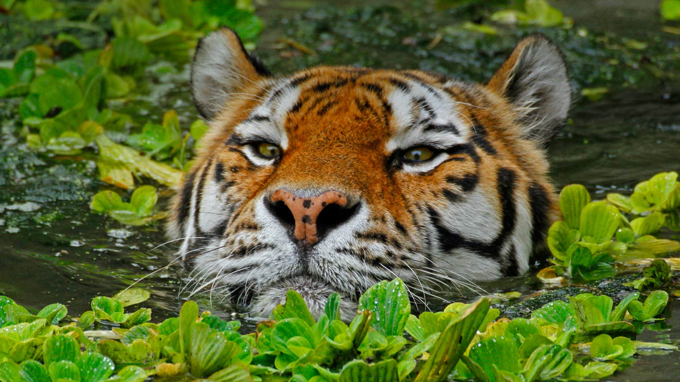 A Siberian tiger takes a swim at the Antwerp Zoo in Belgium (© Hans Kuczka/Aurora Photos)