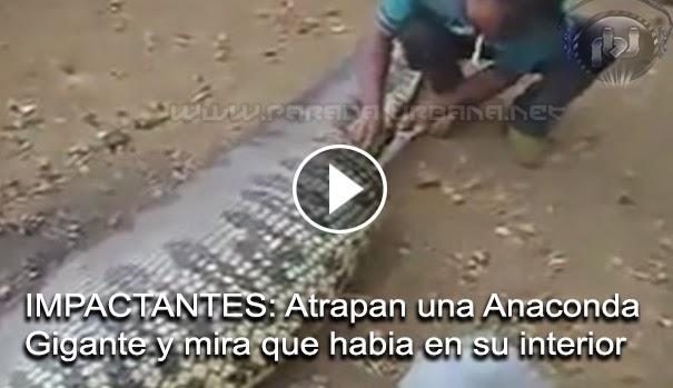 VIDEO IMPACTANTE - Atrapan una gran Anaconda que llevaba en su interior lo que podria ser una persona o animal.