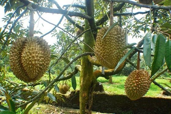 Warso Farm, Surga Durian Di Bogor