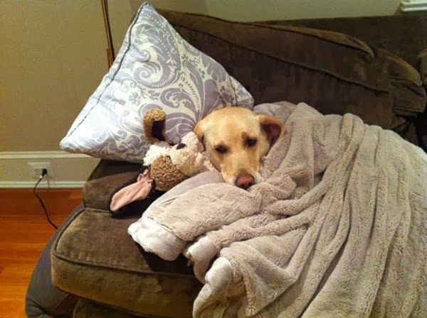 funny picture of dog in bed with teddy bear
