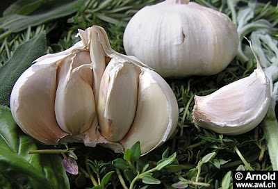 Garlic source Antibiotics