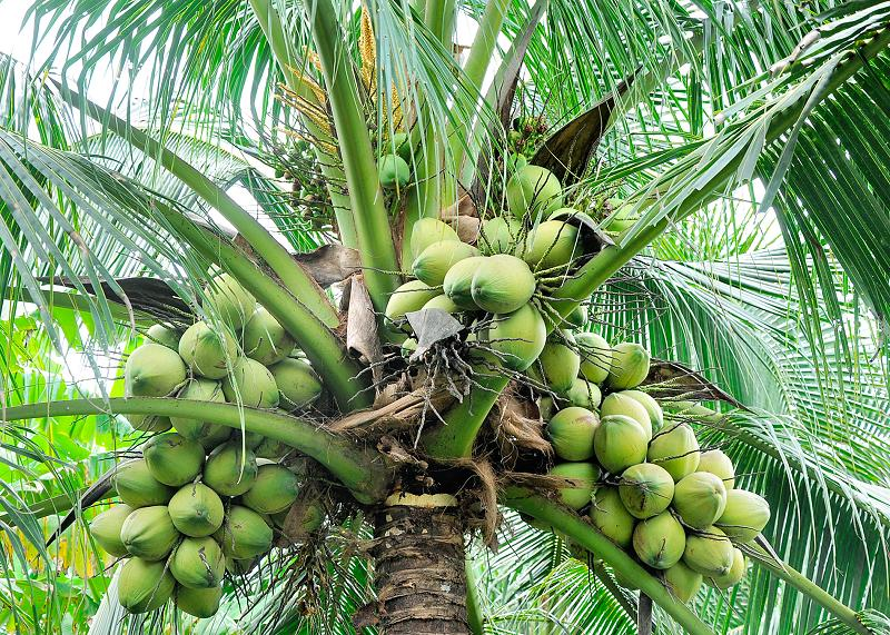 different uses of coconut tree