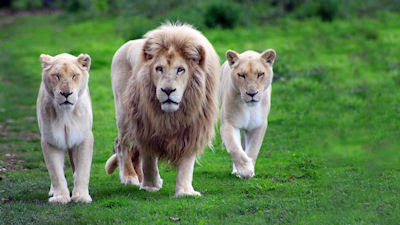 El Rey León paseando con sus dos hermosas leoncitas