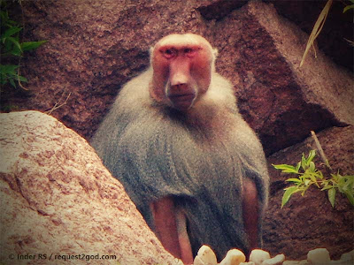 The Sacred Baboon- Hmadryas Baboon