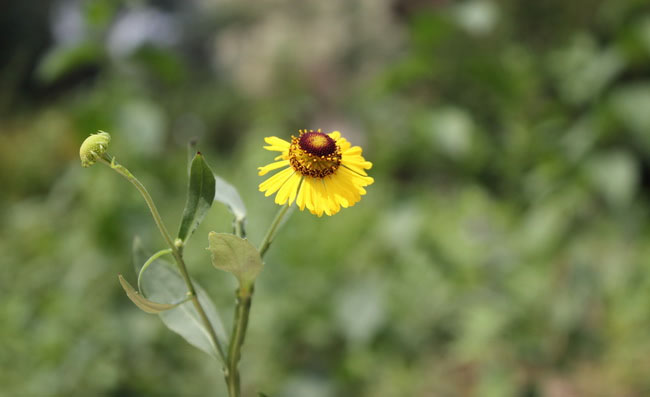 Sneezeweed Flowers