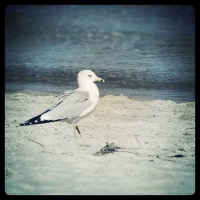 Lone Seagull at Chick's Beach, Winter 2011