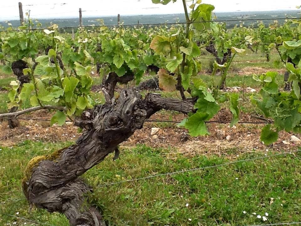 Old vine Malbec in Cahors