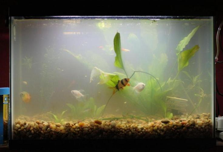 How to clear up cloudy fish tanks tips tricks for How to keep fish tank clean without changing water