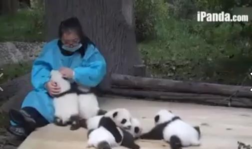 Video Anak Panda Yang Comel