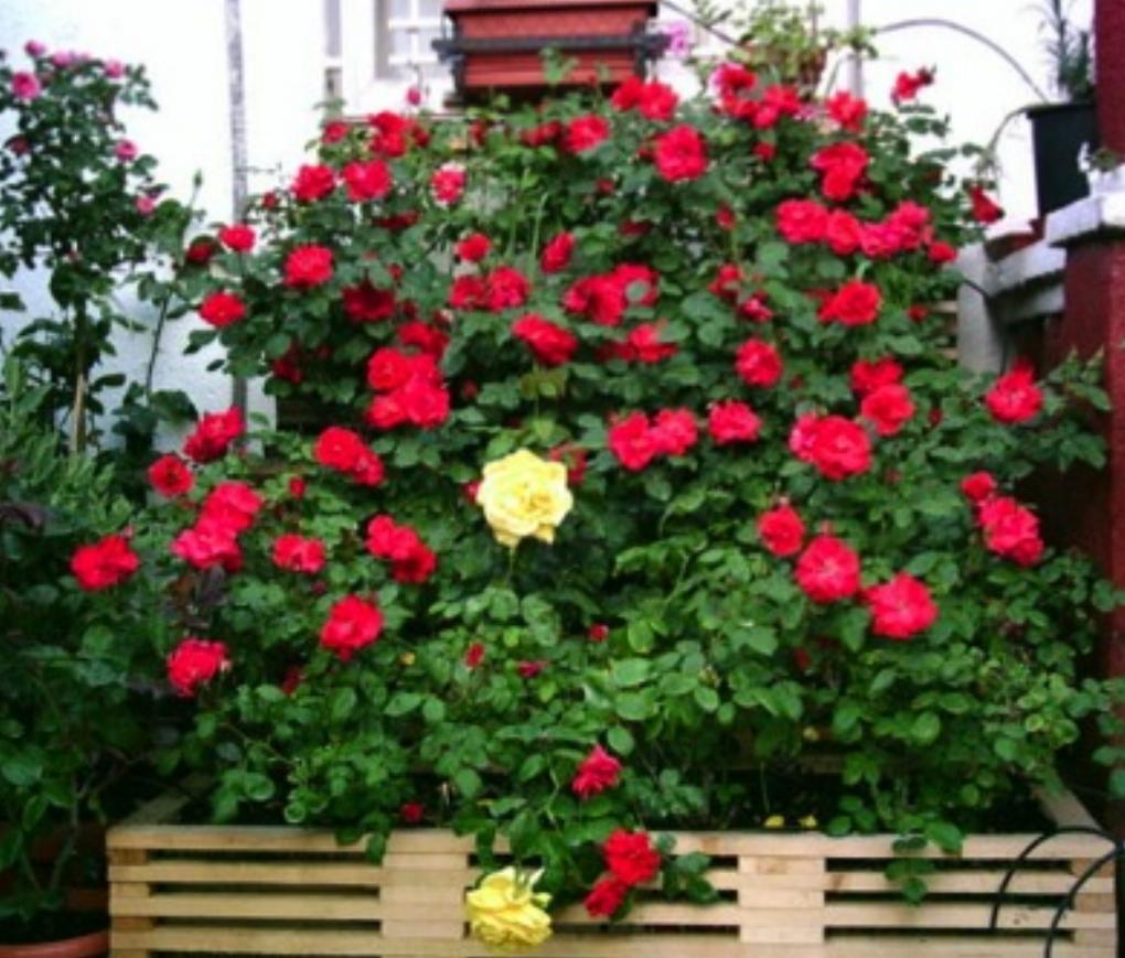 Como cultivar rosas - Rosales en macetas ...