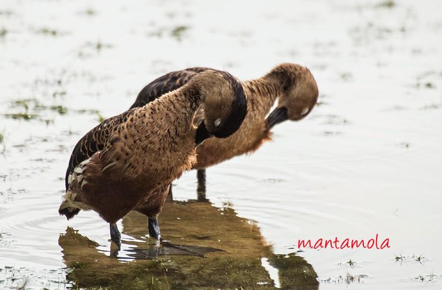 Wandering Whistling-duck (Dendrocygma arcuata)