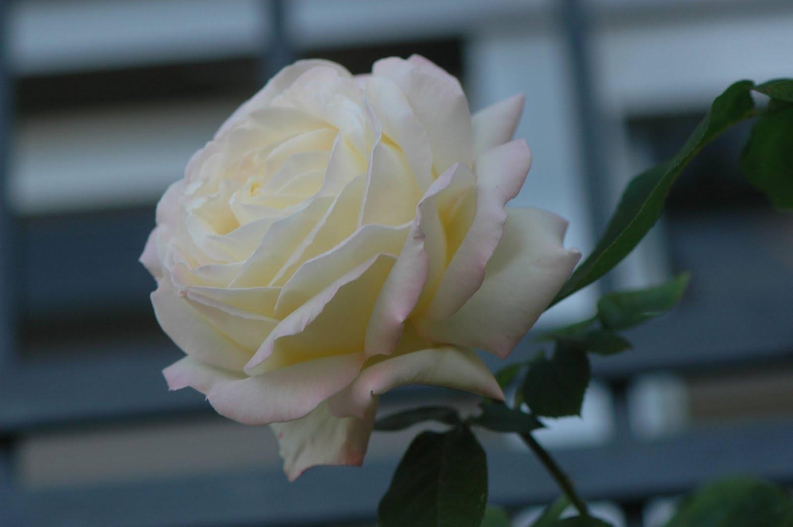 Rosa de perfíl