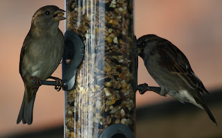 House Sparrows by Findlay Wilde