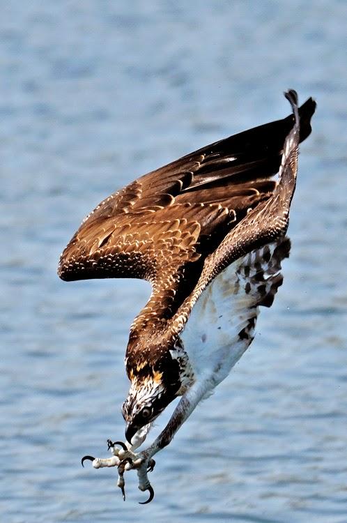 Águila Pescadora a Punto de Pescar...