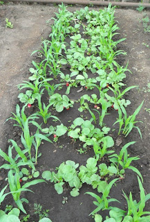 6 июня, на грядке редиски подрастает кукуруза