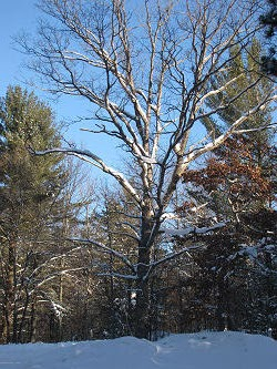 snowy tree in sun