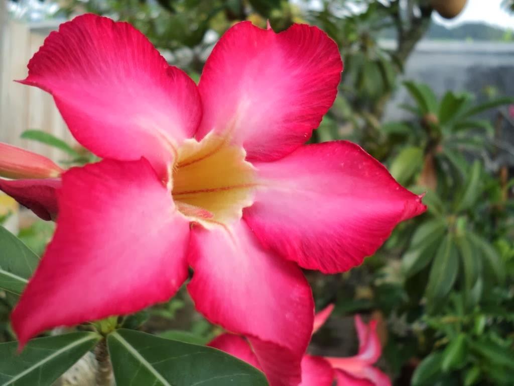 BungaKamboja
