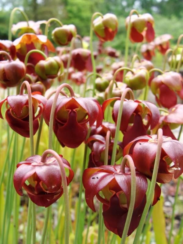 Carnivorous Pitcher Plants #nature #plant