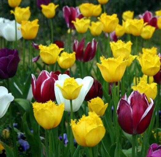Tulip flower tips to remember when planting tulip bulbs for Tulipe bulbe