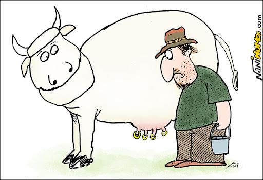 vaca com piercing