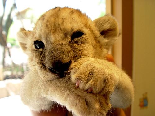 Fantastic Baby Lion Pictures