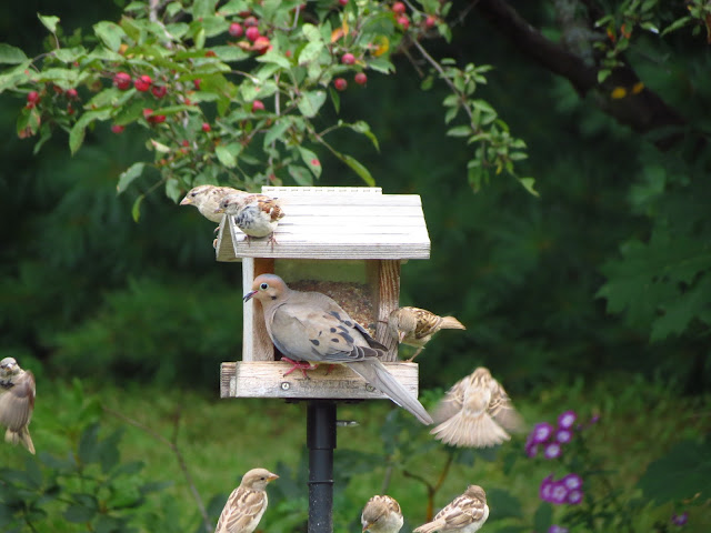mourning dove and house sparrows on feeder