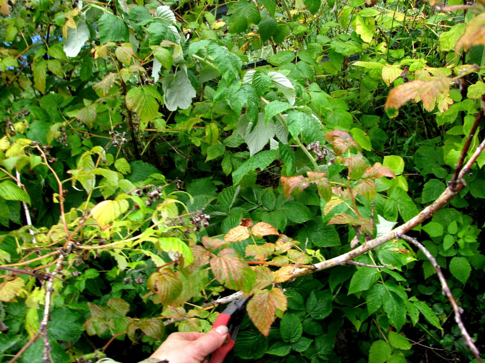 how to prune raspberries in the fall