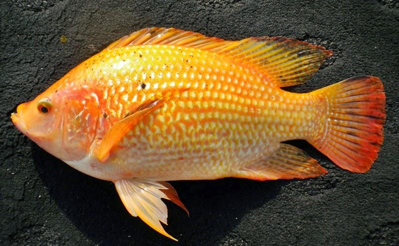 Cara Memilih Indukan Ikan Nila Merah ~ Agro Budidaya