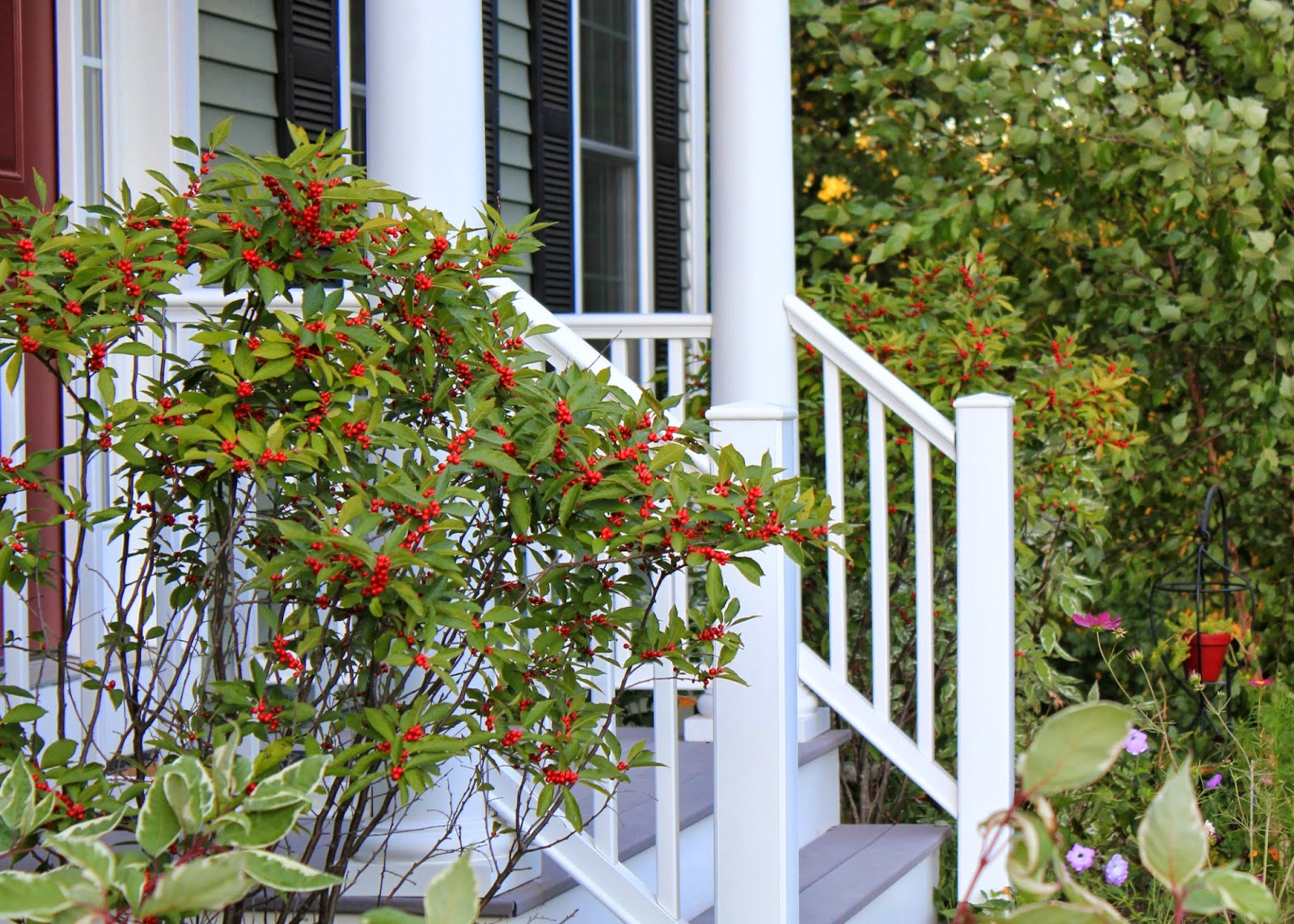 red house garden winterberry hollies