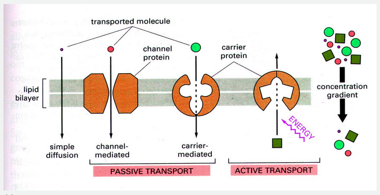 25 Passive and active transport across cell membranes | Biology ...