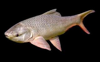 umpan ikan mas danau