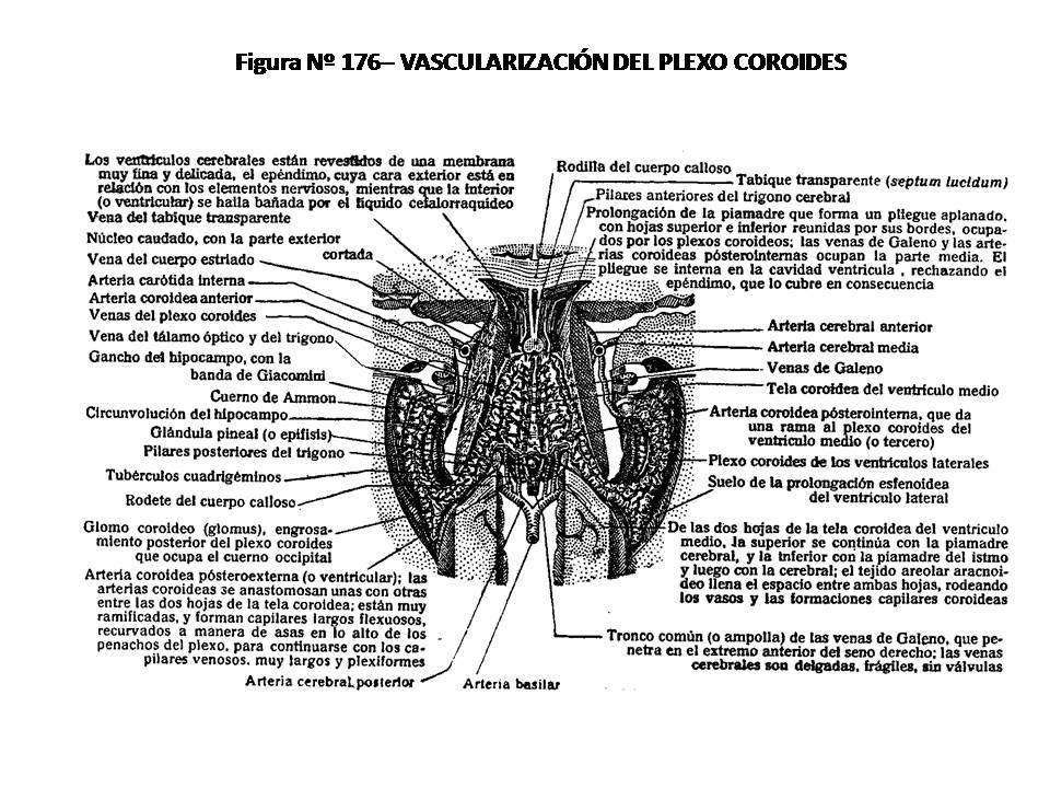 ATLAS DE ANATOMÍA HUMANA: 176. VASCULARIZACIÓN DEL PLEXO COROIDES.