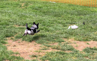 Disc Dog Rue on the lure course