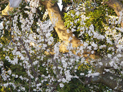 plum tree at sunset
