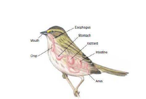 Pencernaan ada Aves