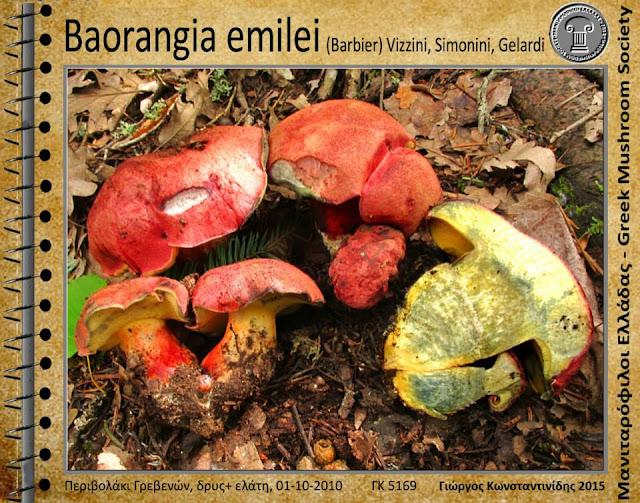 Baorangia emilei (Barbier) Vizzini, Simonini, Gelardi