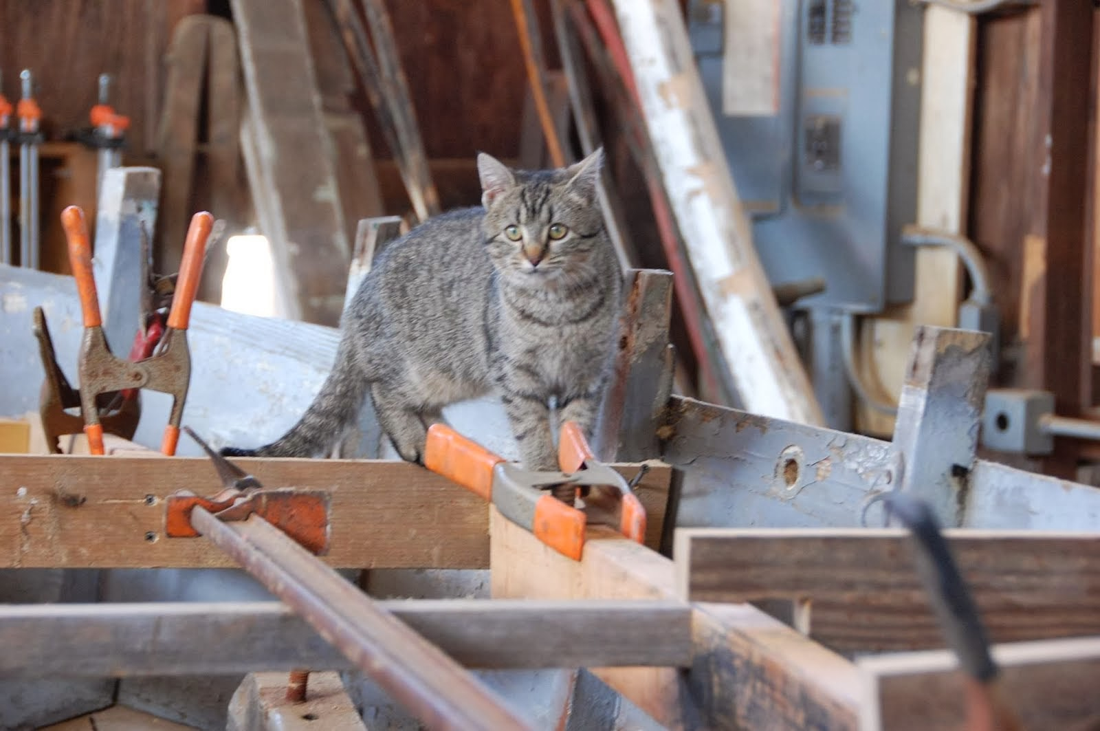 CBMM Resident Salty Boatyard Cat Edna Sprit