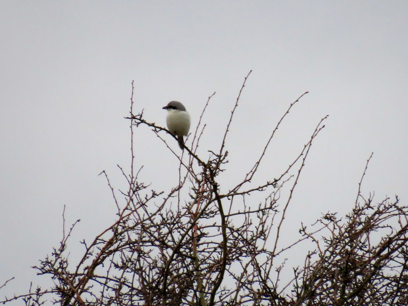 Great Grey Shrike-Frodsham Marshes-5th March 2017