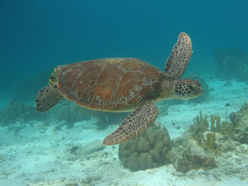 Free Images Online: green sea turtles swimming